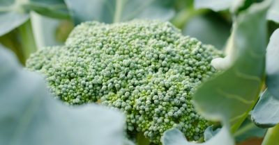 Broccoli-planten-in-de-moestuin
