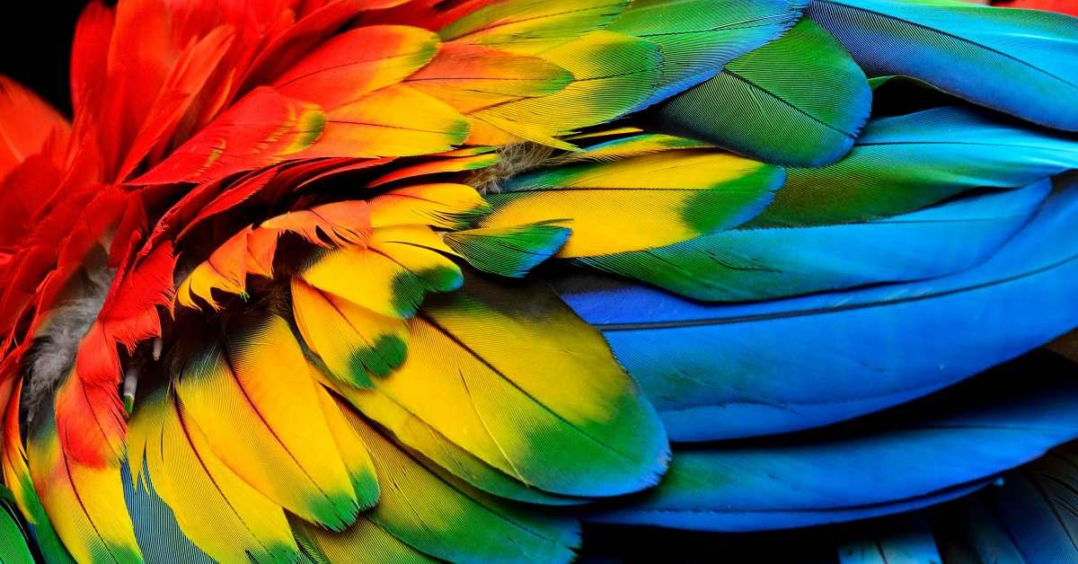 Gekleurde-veren