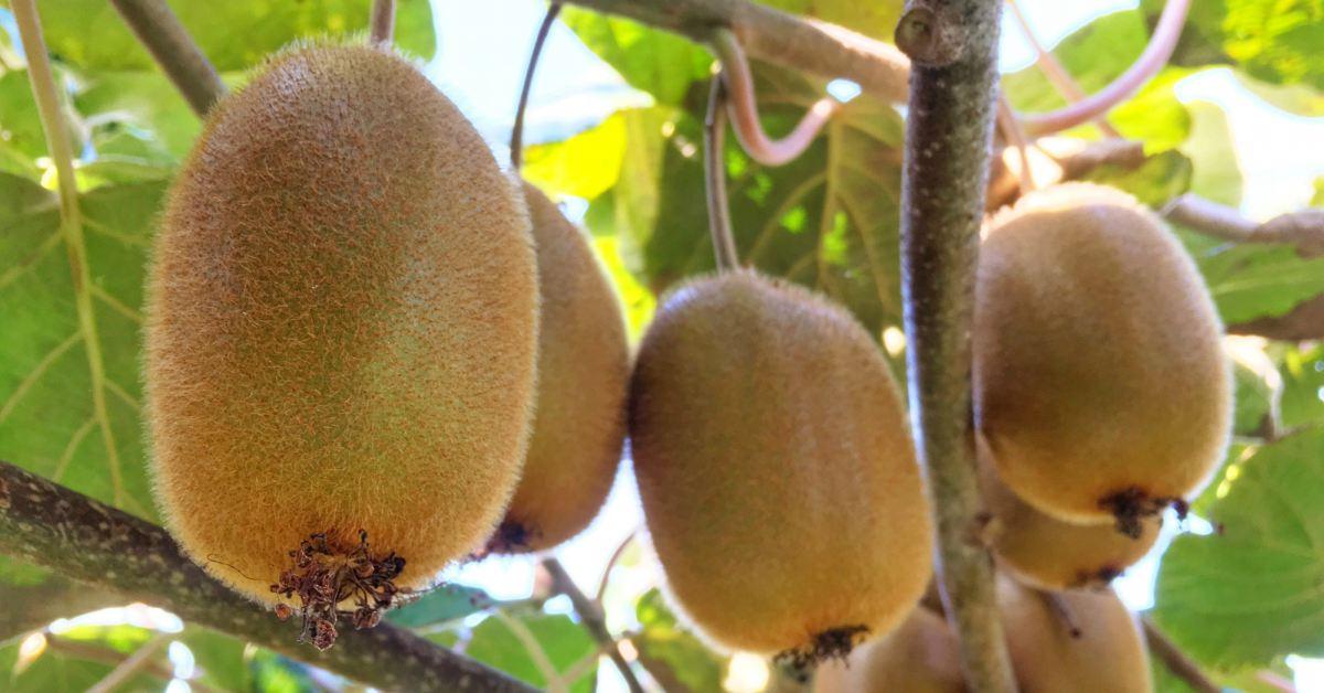 Kiwi-klaar-voor-oogst