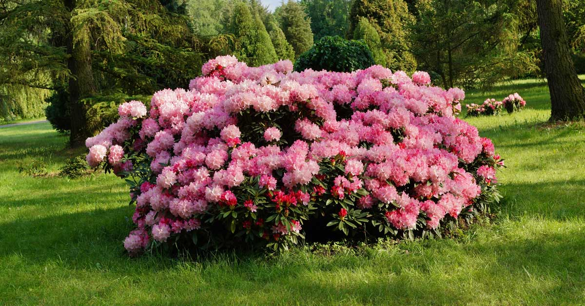 Rhododendron-in-tuin