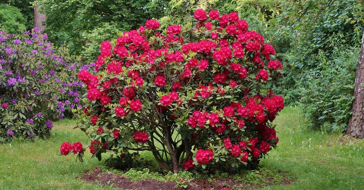 Rhododendron-struik