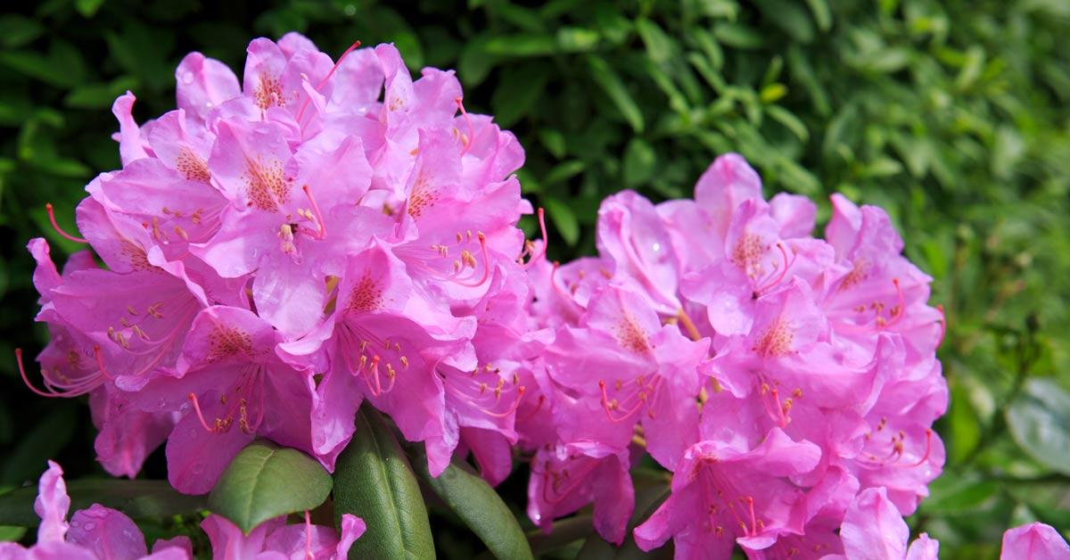 Rododendrun-in-bloei