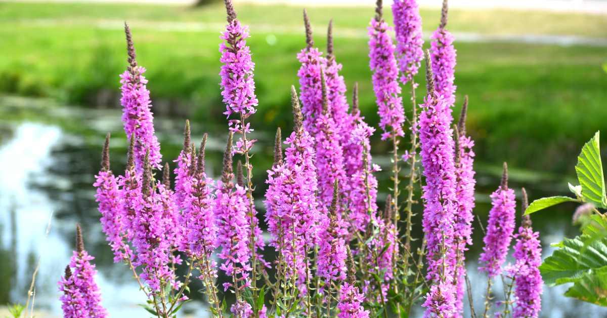 Roze vlinderstruikplanten