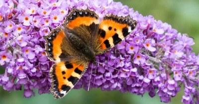 Vlinder-op-paarse-vlinderstruik