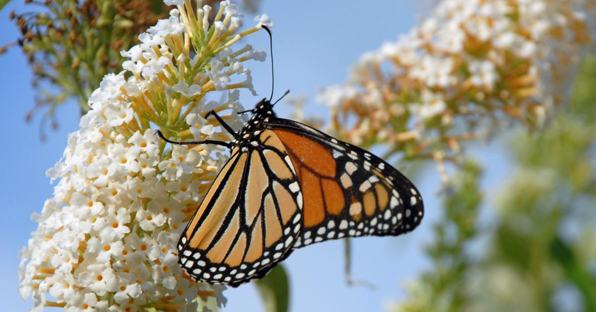 Vlinder op witte vlinderstruik
