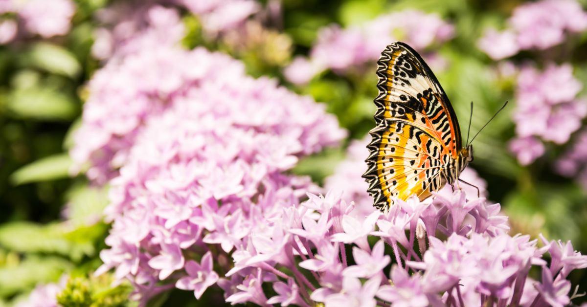 vlinder op lichtroze vlinderstruik