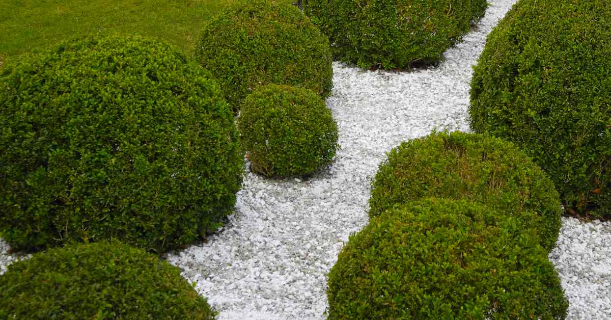 Buxus-in-model-geknipt