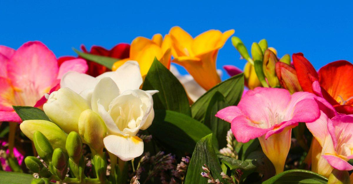 Gekleurde freesia's