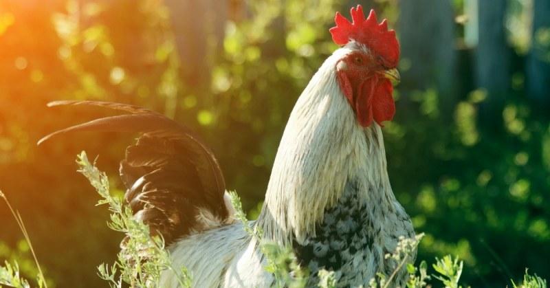 Kippen-houden-in-de-tuin