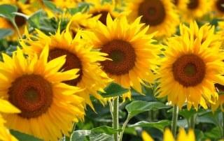 Veld-met-zonnebloemen