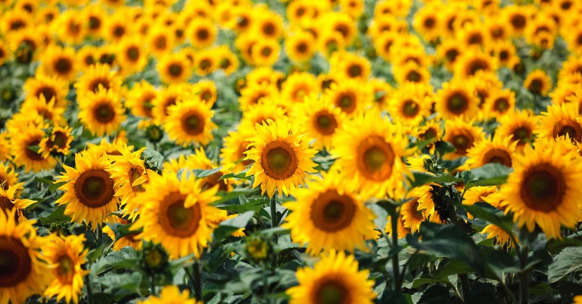 Zonnebloemen-veld