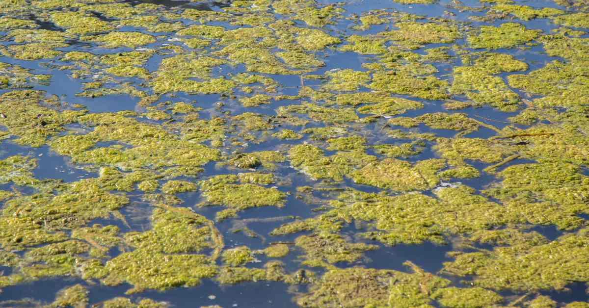 Algen-in-de-vijver
