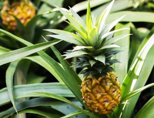 Ananasplant stekken & kweken