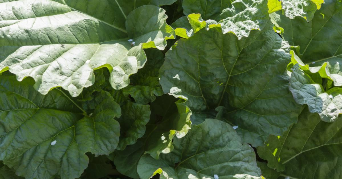 Bladeren-van-rabarber