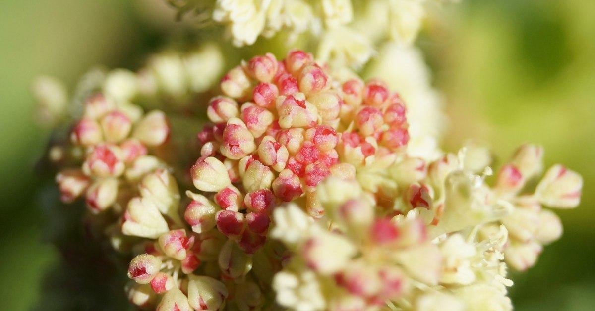 Bloemen-van-rabarber