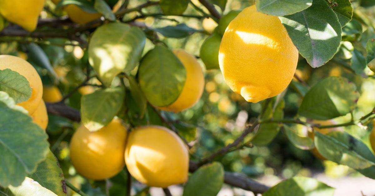 Citroenen-aan-boom