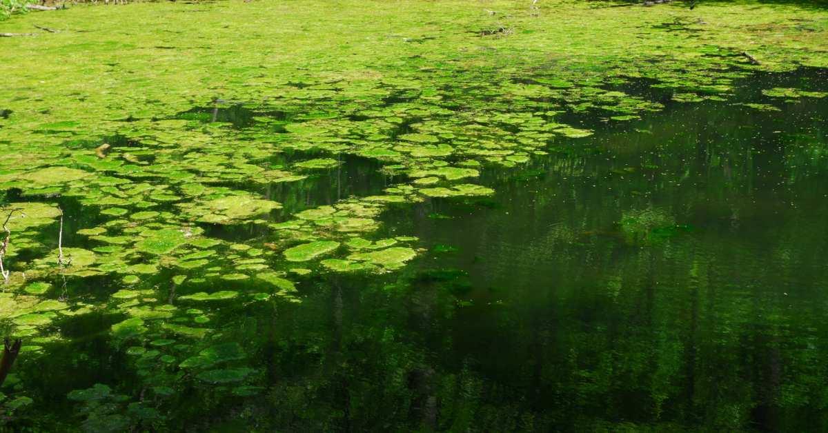 Groen-vijverwater