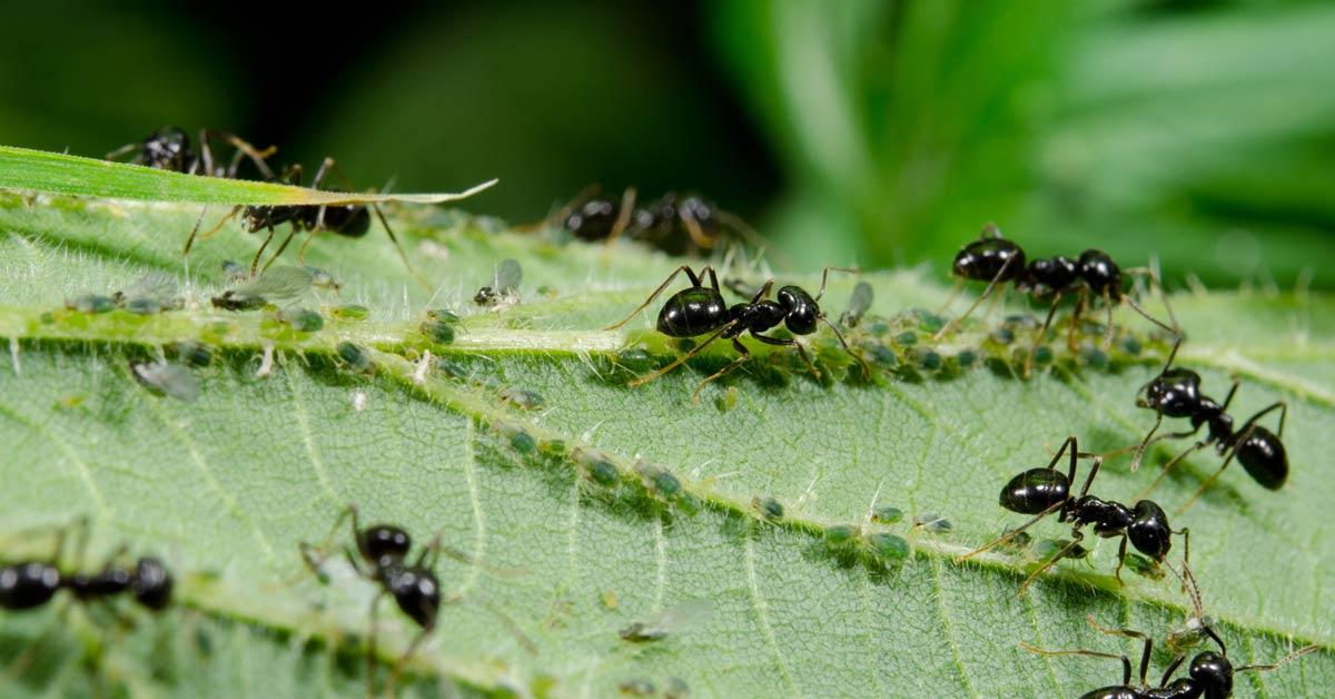 Mieren-op-een-blad