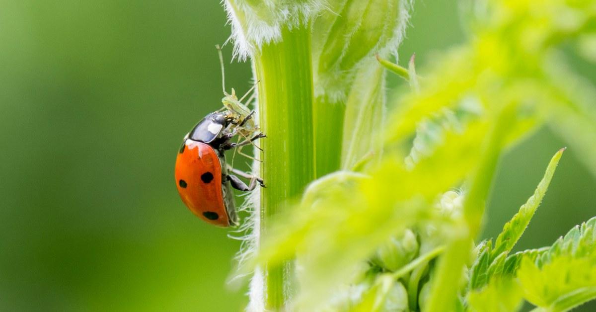 Natuurlijke-vijand-bladluis