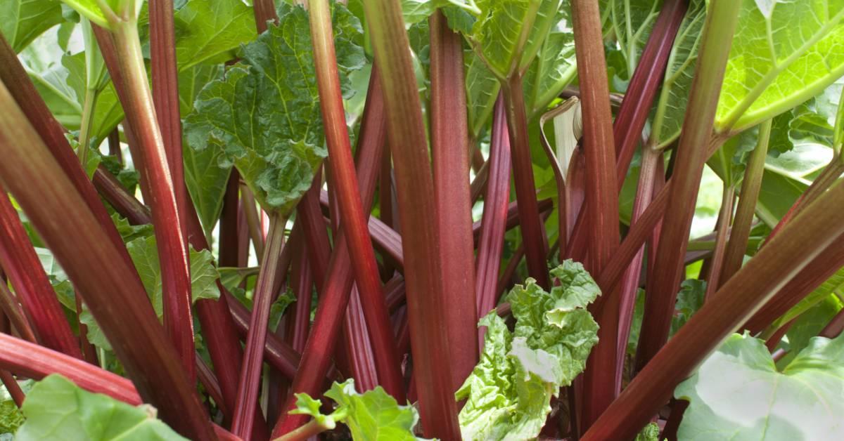 Rabarber-klaar-voor-oogst