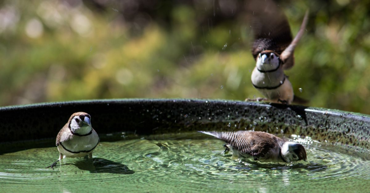 Vogels-in-vogelbadje