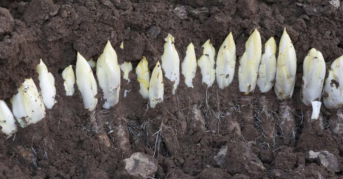 Witlof-oogsten