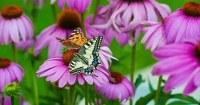 Vlinders-in-Nederland-herkennen