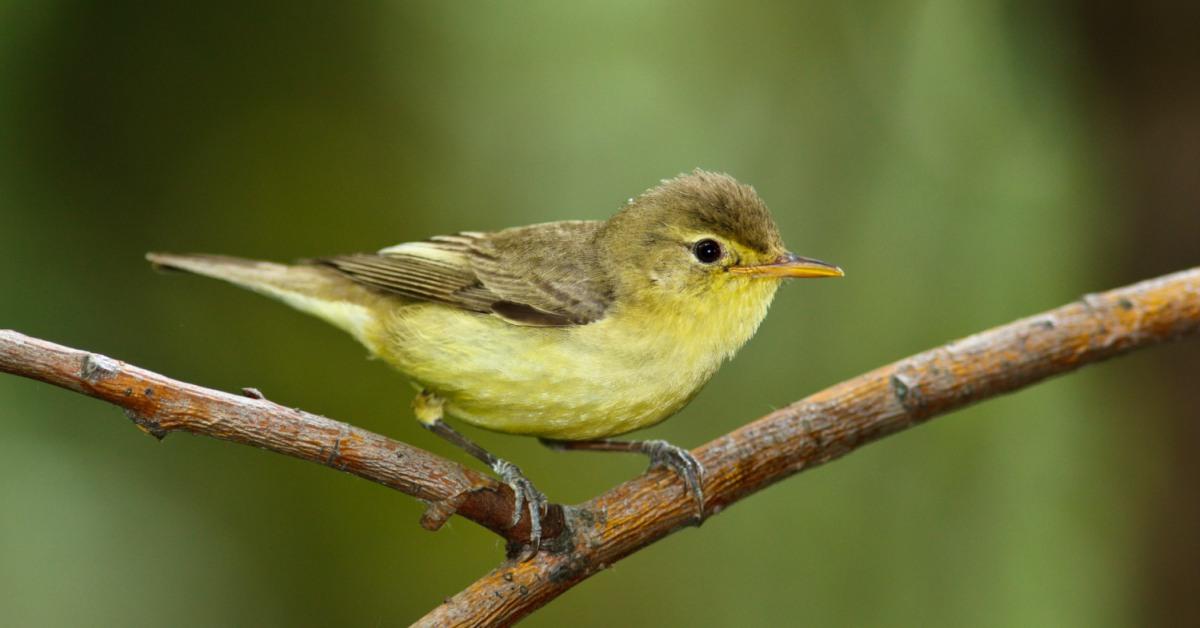 Spotvogel 2