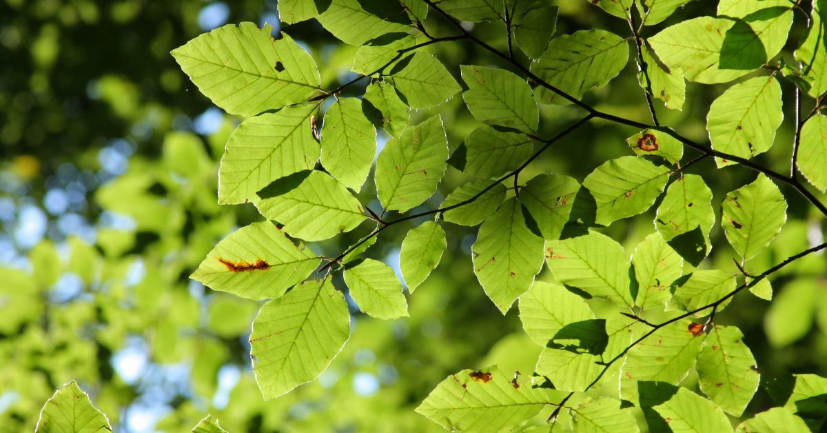 Beukenboom bladeren