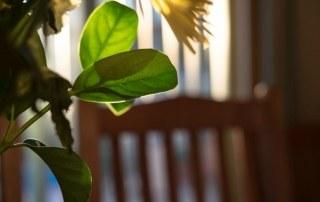 Schaduwminnende plant