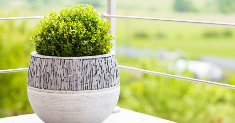 buxus in pot