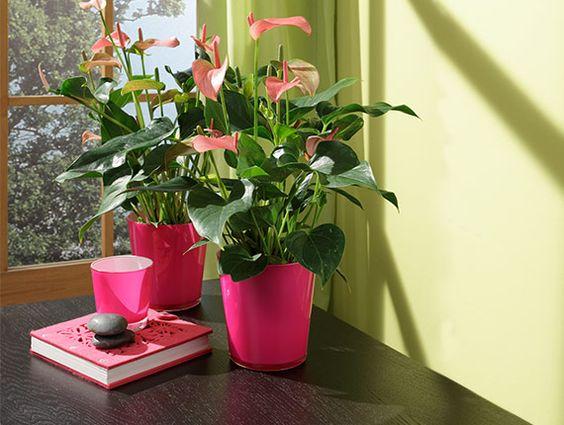 Flamingoplant