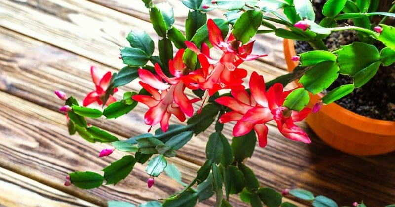 Tropische planten voor binnen - kerstcactus