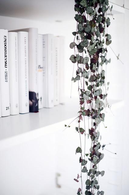 Chinese lantaarnplant