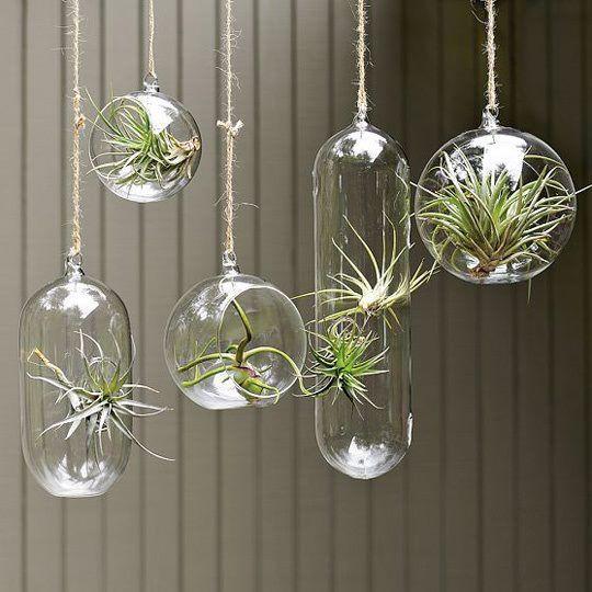 Hangende luchtplanten