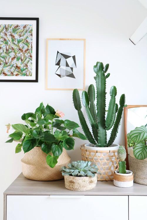 Cactus in rieten mand