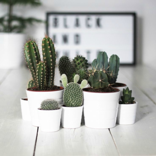Kleine cactussen in huis