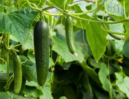 Zelf komkommer kweken