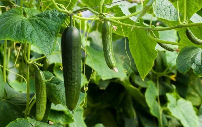 3 komkommers aan een zelf gekweekte plant