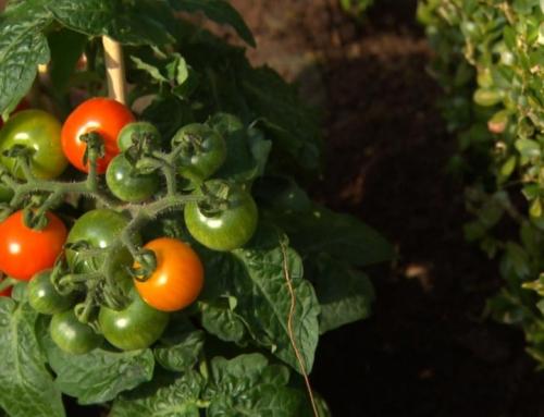 Zelf Cherrytomaatjes kweken: tips voor beginners