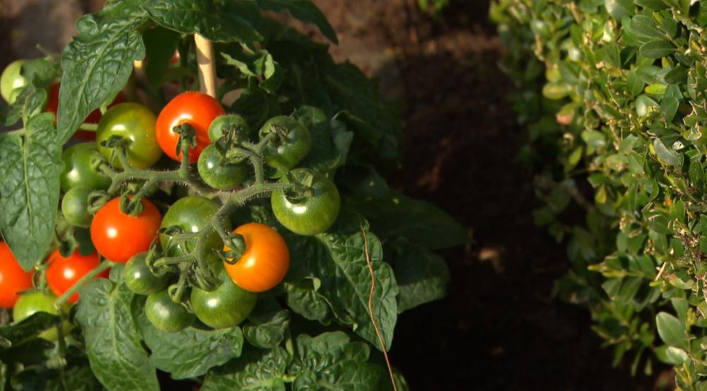 tomaten-cherry-plant