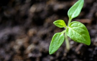 tomatenplant-klein