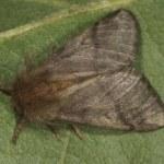 processierups vlinder