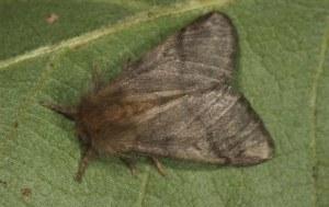processierups nachtvlinder