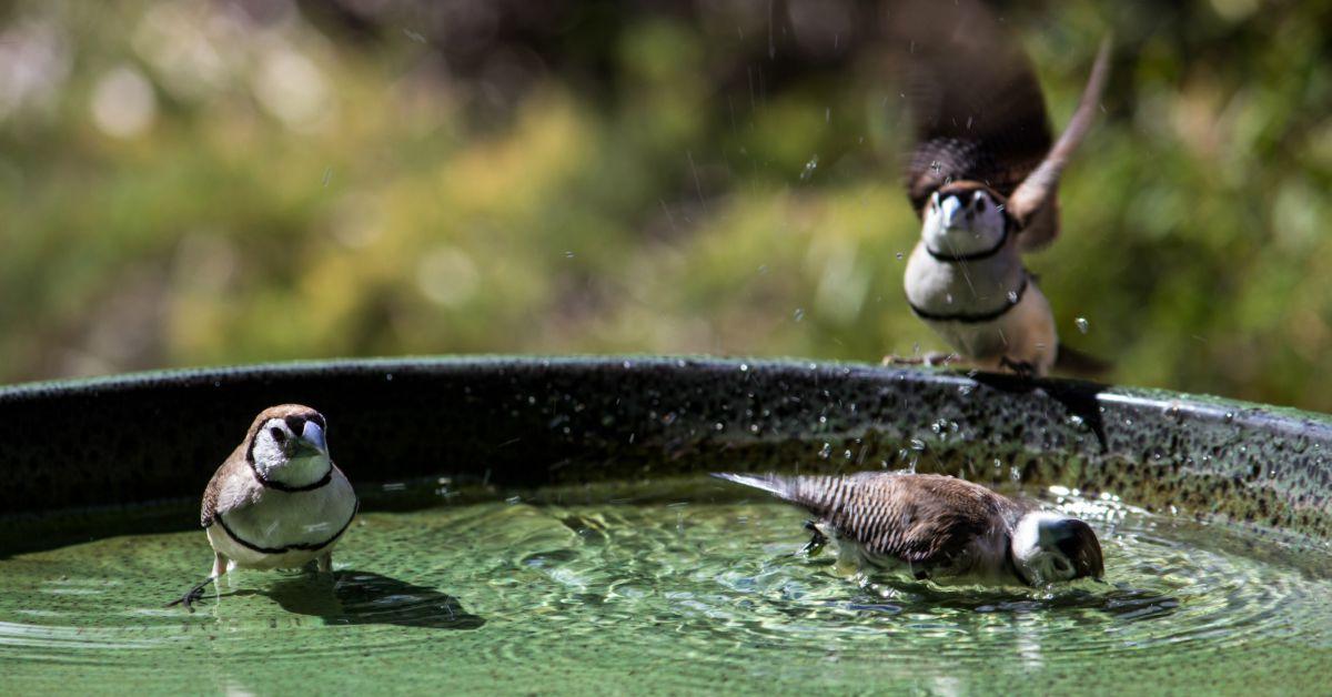 Musjes in een vogelbadje